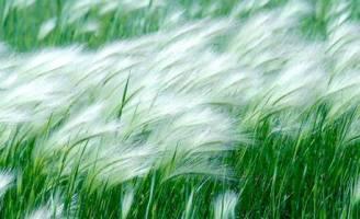 Ký ức cỏ lau