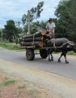 Vi vu nghề lái xe trâu ở ngôi làng xứ Huế