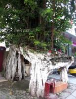"""Cây bồ đề kỳ lạ dáng """"tứ trụ"""" giữa thành phố Huế"""