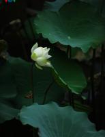 Chiêm ngưỡng vẻ đẹp dịu dàng của hoa sen xứ Huế