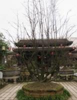 Thú vị ngắm vườn mai Tịnh Lâm Nhi Huế