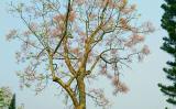 Kiêu sa loài hoa Ngô đồng xứ Huế