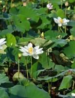Bảo tồn và nhân giống thành công sen trắng trong Đại Nội