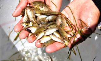 Được mùa cá rò