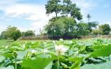 Mùa sen xứ Huế