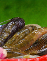 Cá bống suối về xuôi