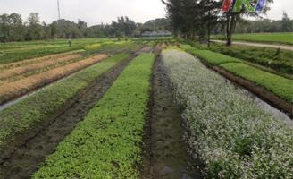 Thương cánh đồng rau
