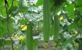 Hoa mướp dưới chân cầu