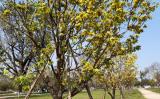 Trước công sở xứ Huế nên trồng hoàng mai