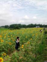 Giấc mơ về một đồi hoa mặt trời ở Cố đô