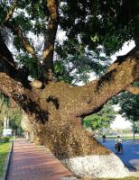 """""""Cụ"""" xà cừ 100 năm ở Huế được giữ """"sinh mạng' nay đã lên mầm xanh"""